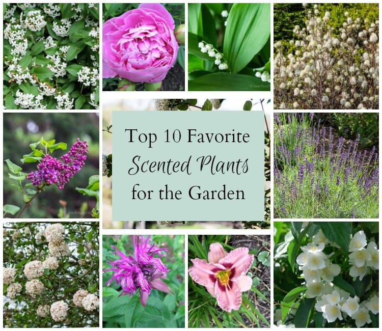 Top ten favorite scented plants to grow.