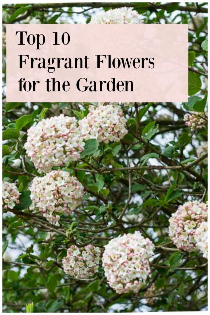 Viburnum scented shrub