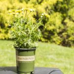 Yellow Marguerite Daisy in Monrovia pot