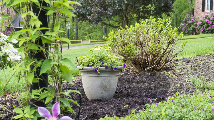 Yellow and purple planter to replace shrub.