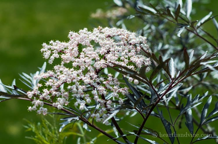 Sambucus nigra 'Black Lace' in bloom.