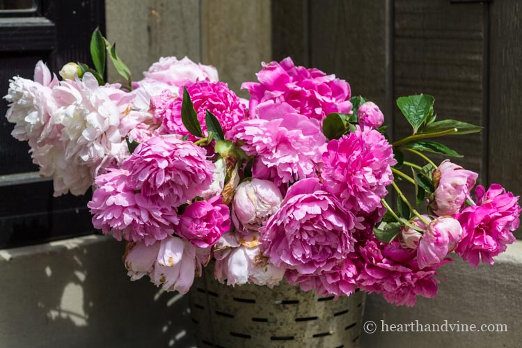 Fresh cut peonies in a bucket.