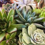 7 Succulent Tips and 5 Succulent Mistakes to Master Echeveria Species, Cacti, and More