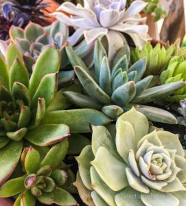 Group of mixed succulents in pot.