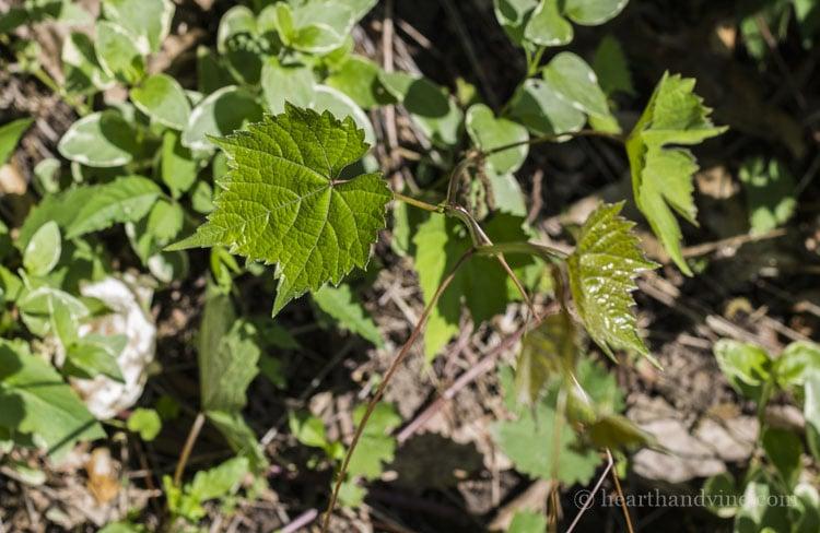 Wild grapevine growing in garden.