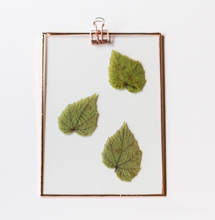 Three hardy begonia leaves suncatcher.