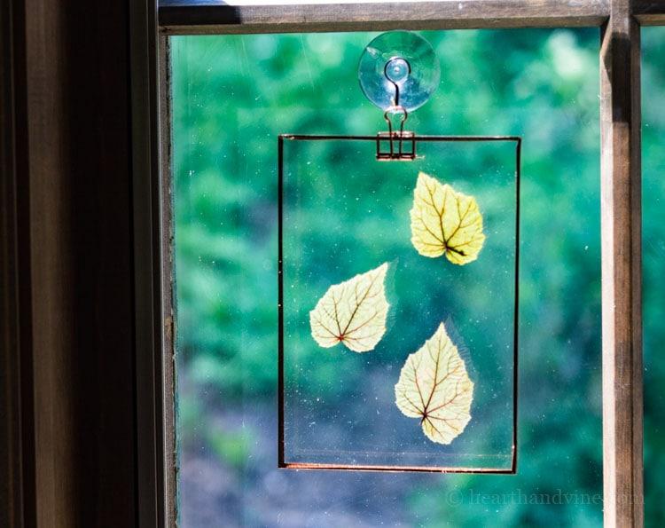 Begonia leaves hanging in window.