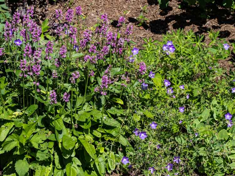 Betony and Johnson's Blue geranium.
