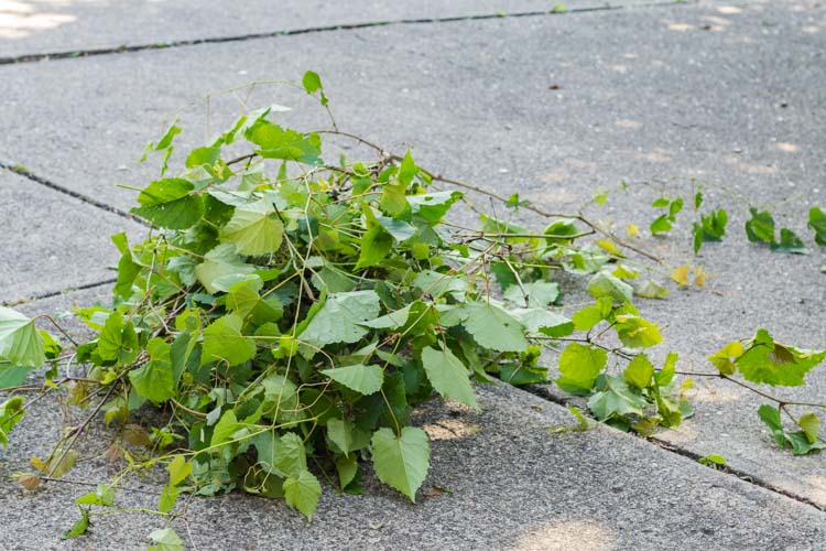 Pile of cut grapevines.