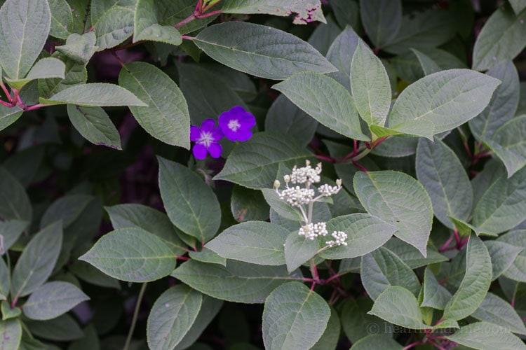 Geranium in hydrangea chantily lace