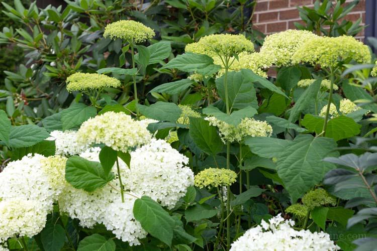 H Arborescens 'Annabelle'