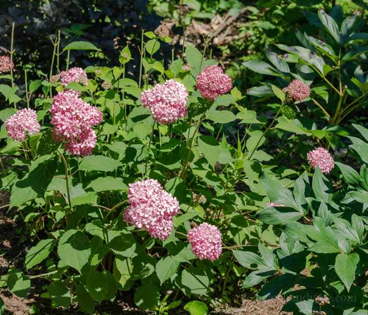 Hydrangea aborescens 'Invincibelle Spirit'