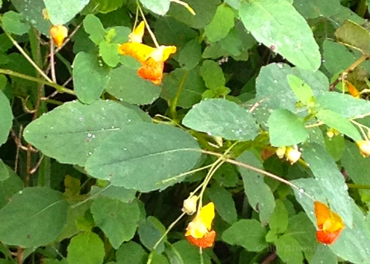 Orange flowered jewelweed.