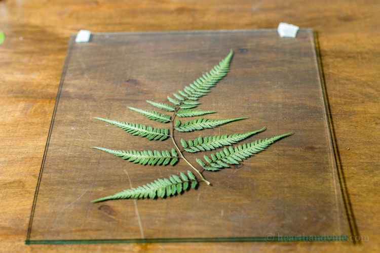 Pressed fern between glass.