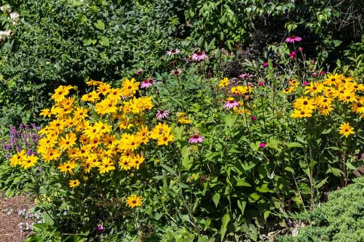 Hillside coneflowers garden.