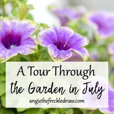 A tour through the garden in July - Angie Freckled Rose