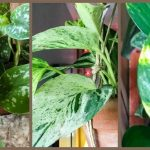 Pothos Plant Care: Varieties and Propagation of the Easiest Houseplant