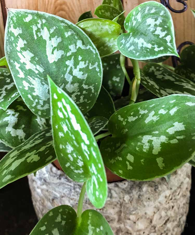 Pothos plant care for different varieties and propagation - silver pothos