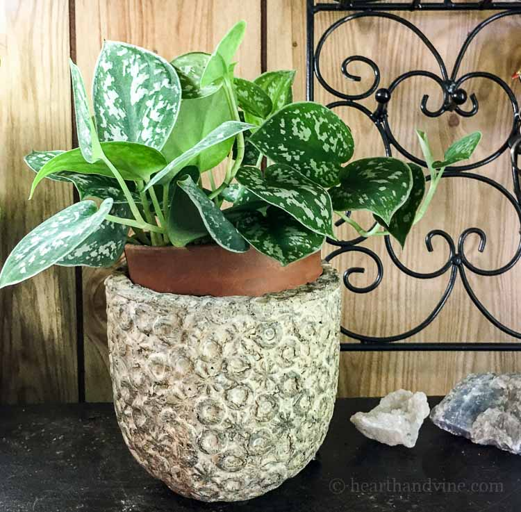 Pothos plant care for different varieties and propagation - silver pathos in pot