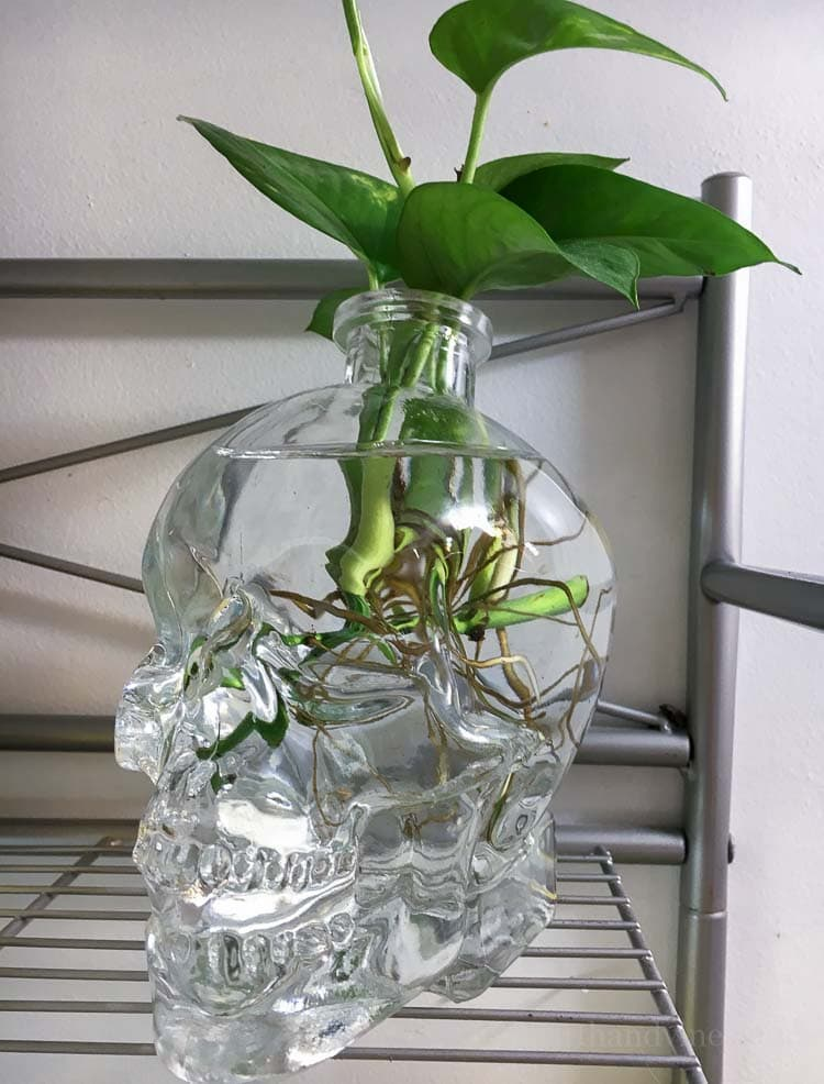 Pothos plant care for different varieties and propagation.