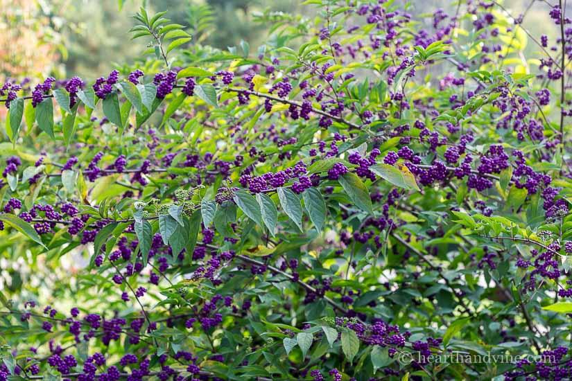 Beauty Berry Shrub.  Callicarpa dichotoma 'Early Amethyst'
