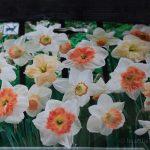 Deer resistant bulbs - pink daffodils