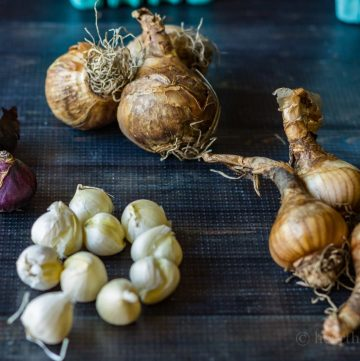 Deer resistant bulbs - Daffodils, Scilla, Allium, Snowdrops