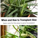Top image is a lush full aloe plant and bottom shows two images. One of a struggling aloe and one old aloe stem.