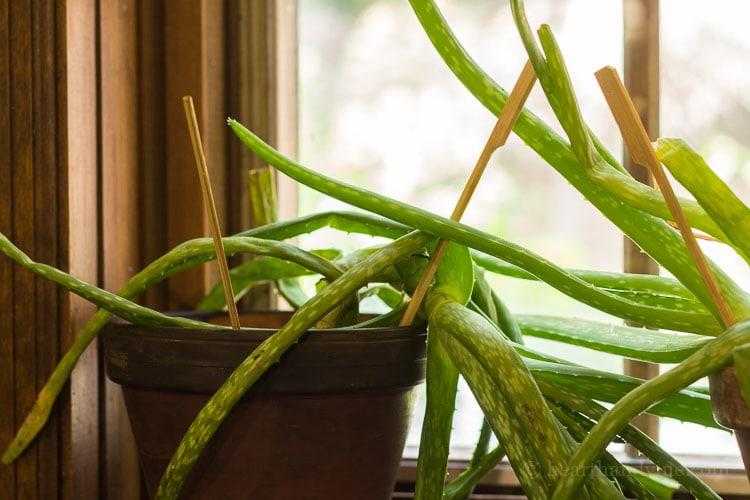 Transplanting aloe vera - toppled over plant.