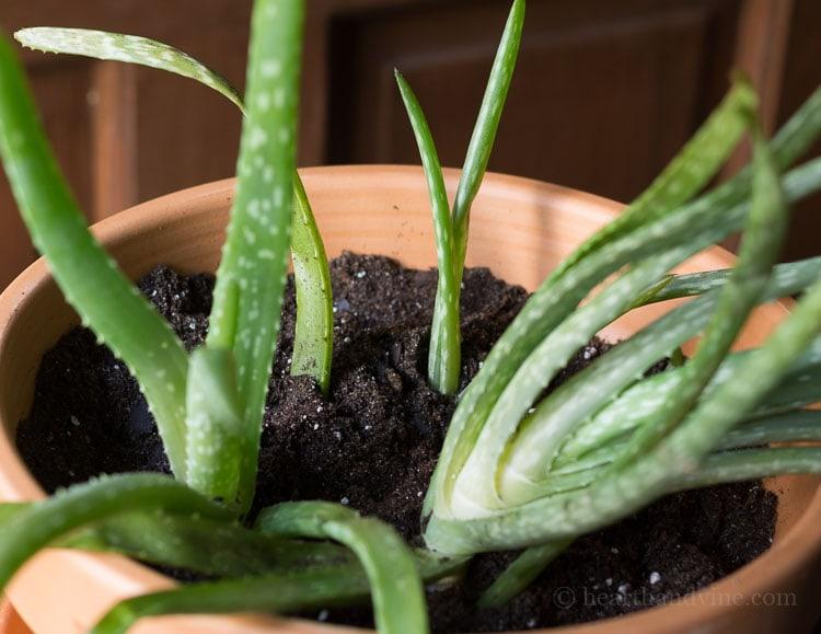 Transplanting aloe vera in new pot