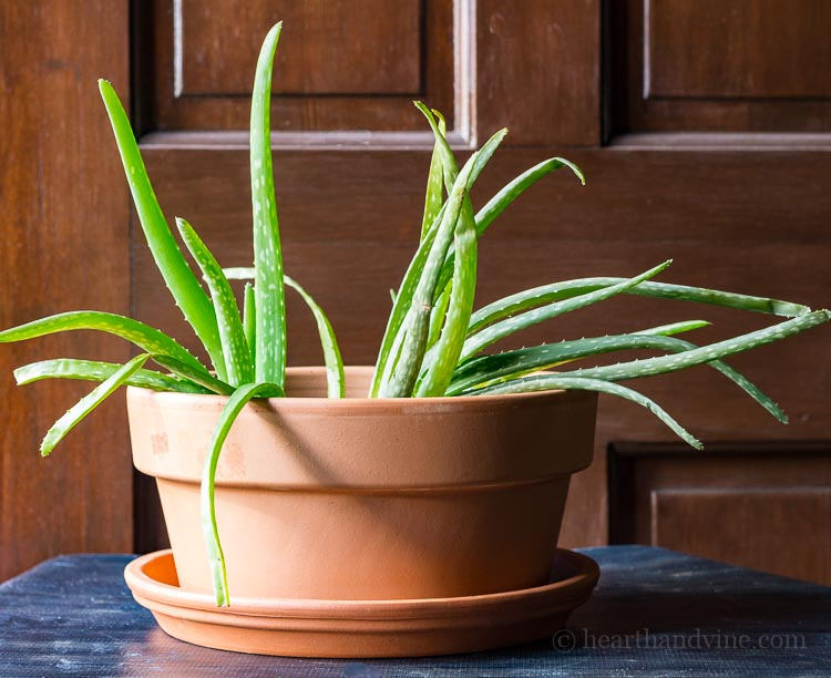 Transplanted aloe vera plant in a wide terra cotta pot.