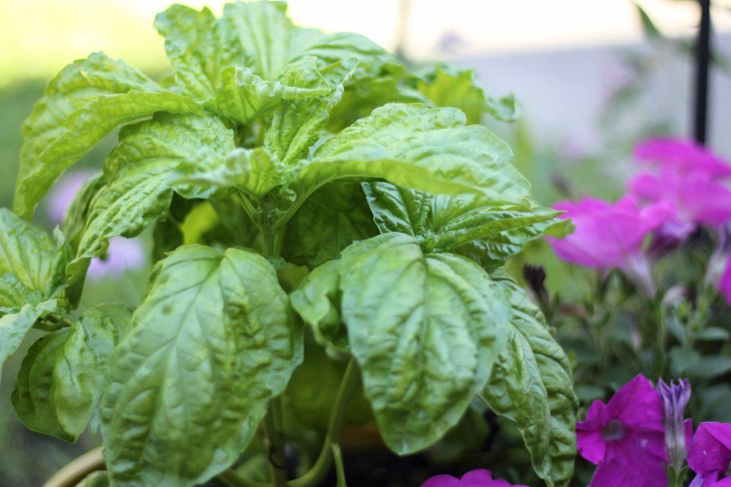 Full basil plant