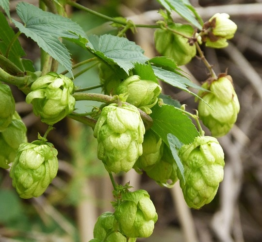 2018 Plants of the Year - Herbs - Hops