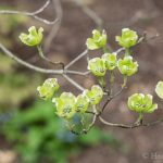Dogwood tree in bud