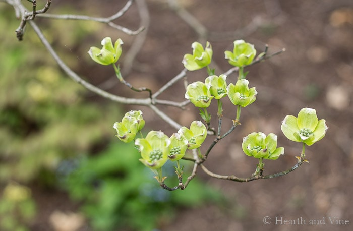 Dogwood tree in bud feature garden trends