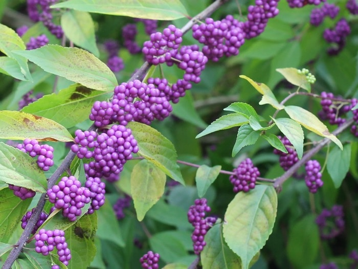 Beautyberry shrub