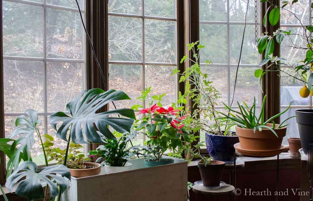 Indoor gardening houseplants in window
