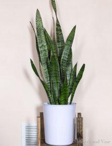 Sanseveria aka snake plant