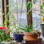 Indoor gardening with plants in dining room window.