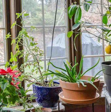 Indoor gardening with plants in dining room window.