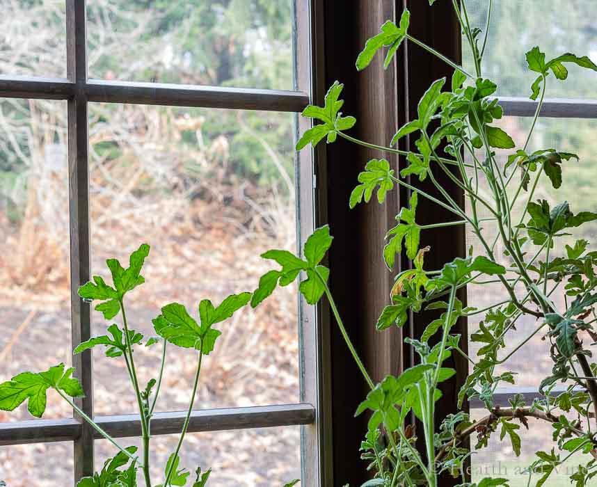 Scented geranium plant