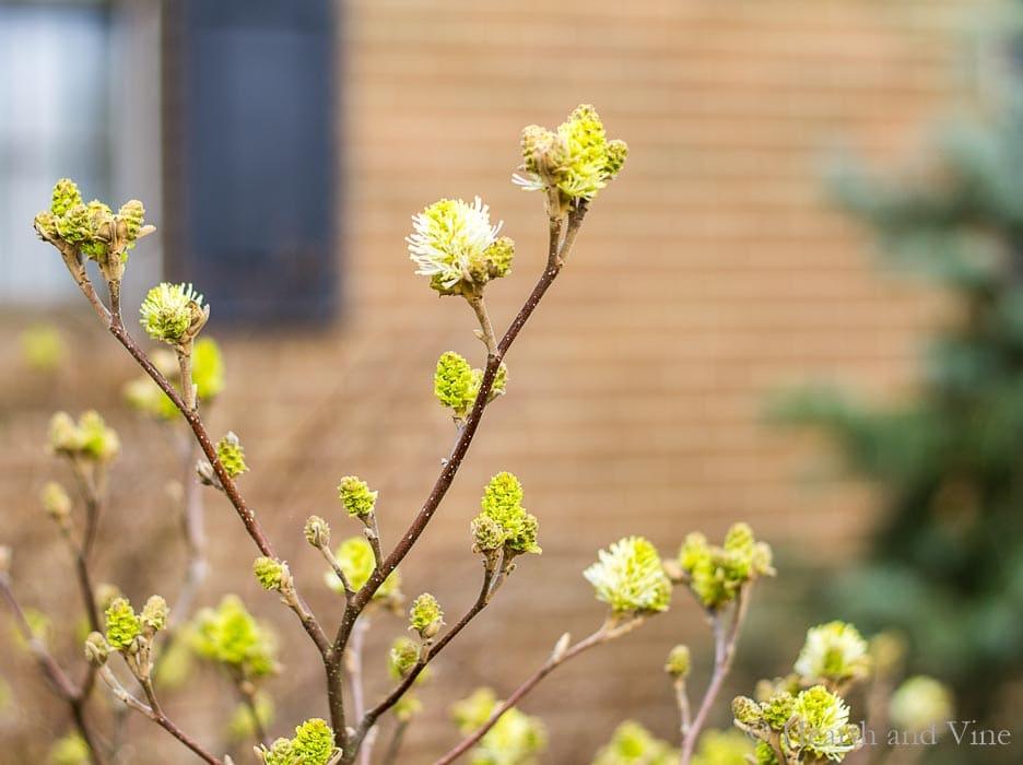 Fothergilla spring blooms