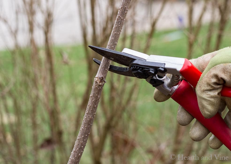 Pruning shrub with hand pruners.