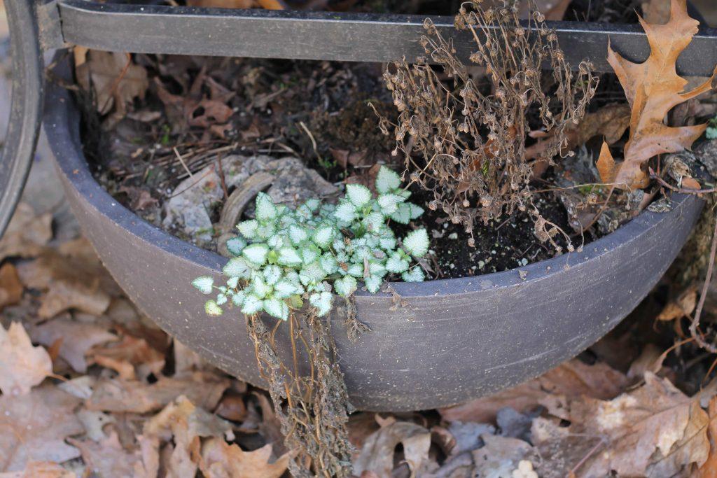 Lamium in late winter in pot.