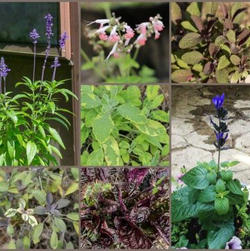 Garden salvia collage