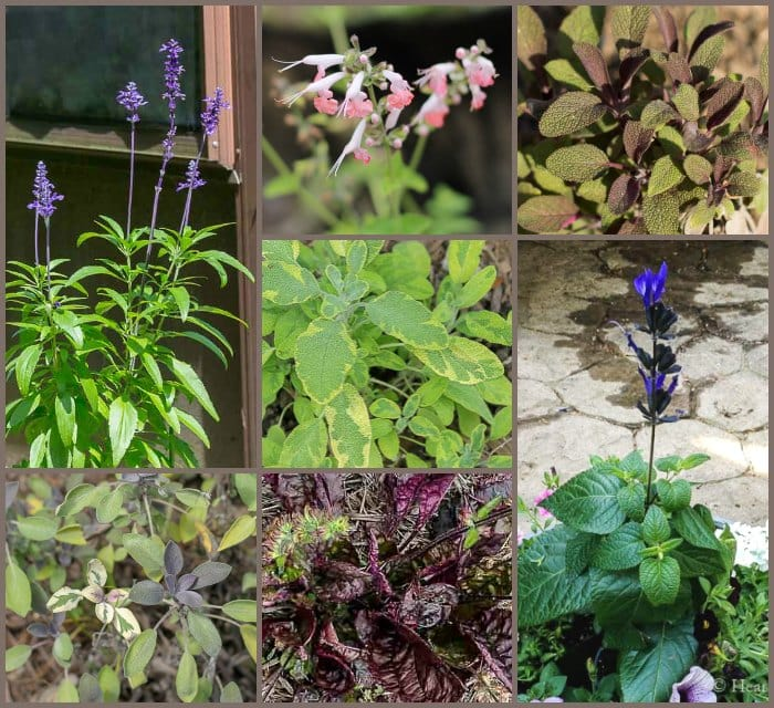 Garden Salvia – Perennials Gems You Should be Growing