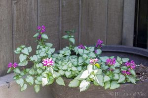 Perennials in container - Lamium 'Orchid Frost'