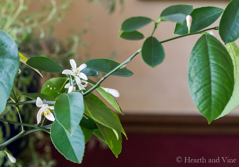 Meyer Lemon tree blossoms