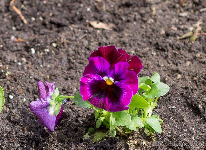 Planted pansy flower