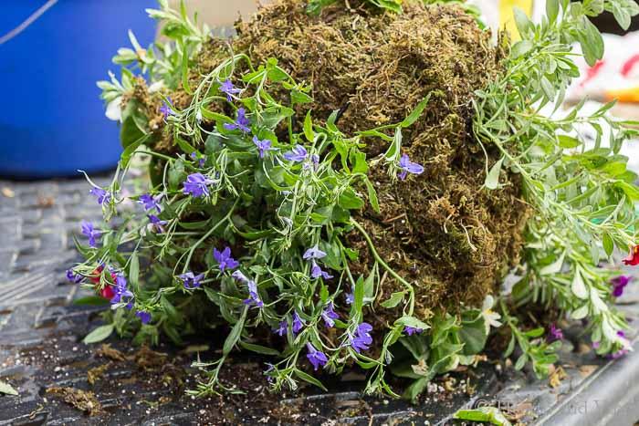 Lobelia planted into bottom of planter